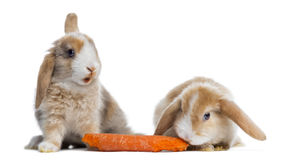Two Satin Mini Lop rabbits eating a carrot, isolated Stock Photography