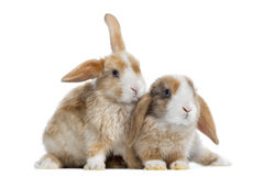 Two Satin Mini Lop rabbits next to each other, isolated. On white Royalty Free Stock Image