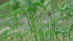 Two scaly-breasted munia on the plant. Two scaly-breasted munia are staying on the plant and one of them is flying away stock footage