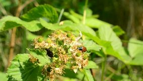 Two scarab beetles alight on green blackberry stock footage