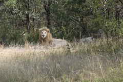 Two scarce white lions rest in shade of a tree in the bush. Two scarce white lions rest in the shade of a tree in the bush Royalty Free Stock Photography