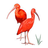 Two Scarlet Ibises Stock Images