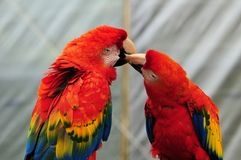 Two Scarlet Macaw Birds Royalty Free Stock Photography