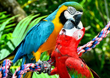 Two Scarlet Macaw Birds Kissing. While perched on a rope stock photo