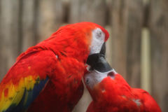 Two Scarlet macaw Stock Image