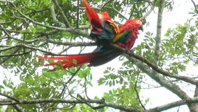 Two Scarlet Macaw walking and perched on a tree. It has suffered from local extinction through habitat destruction and capture for stock footage