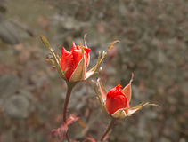 Two scarlet roses in autumn garden. Dying plants bright lit by setting sun. Wilting rose on rose-bush very closeup shot Stock Image