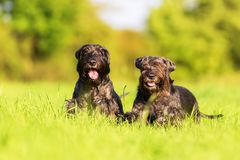 Two schnauzer dogs starts to run. On the meadow Stock Photography