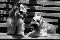 Two Schnauzers. Two dogs in black and white Royalty Free Stock Photo