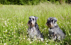 Two schnauzers outdoor Stock Photo