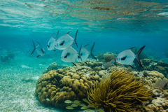 Two schools of different big white and black Permit fish, royalty free stock images