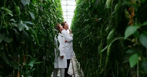 Scientists examining plants in greenhouse 4k. Two scientists examining plants in greenhouse 4k stock video footage