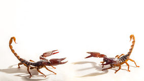 Two Scorpions. Preparing for battle on white background with space Stock Image