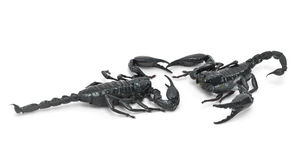 Two scorpions Royalty Free Stock Photos