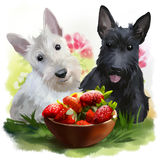 Two Scotties and strawberries. Watercolor painting Royalty Free Stock Photography