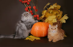 Two Scottish cat with autumn leaves. On a brown background royalty free stock photo