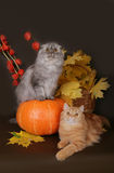 Two Scottish cat with autumn leaves. On a brown background royalty free stock images