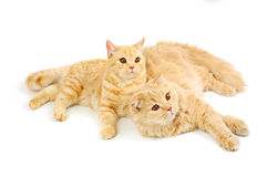 Two scottish cats Stock Image
