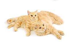 Free Two Scottish Cats Stock Image - 21360911