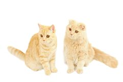 Two scottish cats Royalty Free Stock Images