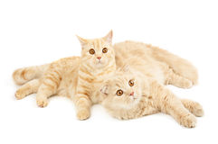 Two scottish cats Royalty Free Stock Photos