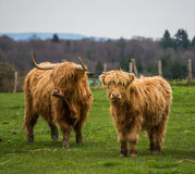 Two scottish cows with long horns. Stock Photo