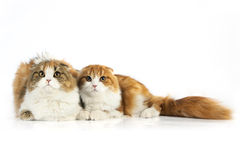 Two Scottish fold cat. On white background Stock Image