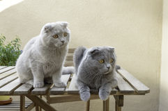 Two Scottish Fold cats. Grey soft and dark Scottish Fold cats Royalty Free Stock Photos