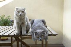 Two Scottish Fold cats Royalty Free Stock Photos