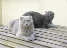 Two Scottish Fold cats Royalty Free Stock Photography