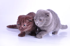 Two Scottish fold kittens walking towards Royalty Free Stock Image
