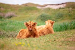 Free Two Scottish Highlander Calfs On The Dutch Island Of Texel Royalty Free Stock Image - 140475016