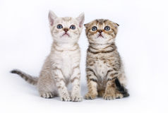 Two Scottish kitten Stock Photos