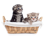 Two Scottish kitten sitting in basket isolated Royalty Free Stock Photo