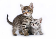 Two Scottish kitten sitting on a white Royalty Free Stock Photography