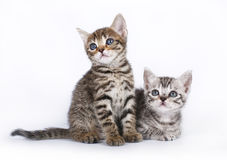 Two Scottish kitten sitting on a white Royalty Free Stock Photos