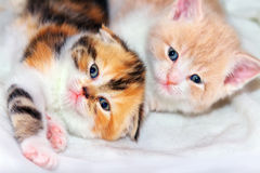 Two Scottish kittens Royalty Free Stock Photography