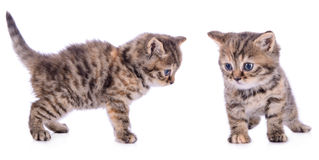Two Scottish kittens Royalty Free Stock Photo