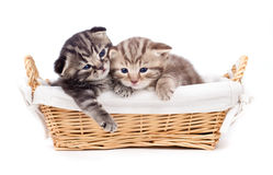 Two Scottish little kitten lying in basket Royalty Free Stock Image