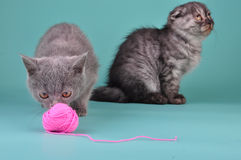 Two Scottish straight fold kittens playing Stock Photography