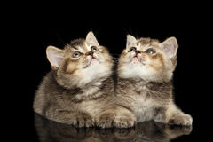 Two Scottish Straight Kittens Lying, Curious Looking up Isolated Black Stock Photography