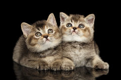 Two Scottish Straight Kittens Lying, Curious Looking up Isolated Black Stock Photo