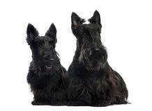 Two Scottish Terriers sitting Stock Images