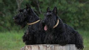 Two Scottish Terriers stock video footage