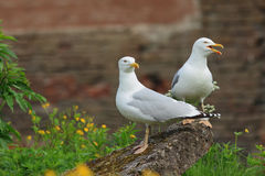 Two screaming Seagull. Two big white seagulls cries Stock Photography