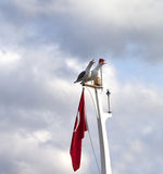 Two screaming seagull on boat mast with Turkish flag Royalty Free Stock Image