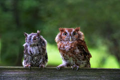 Two Screech Owls Stock Photo