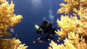 Two scuba divers and school of fish in coral reefs underwater in Red sea. World of colorful beautiful wildlife of reefs and algae. Relax and privacy. Abyssal stock video