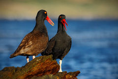 Two sea bird with sea. Two black bird with red bill. Blakish oystercatcher, Haematopus ater, with oyster in bill, black water bird Stock Photos
