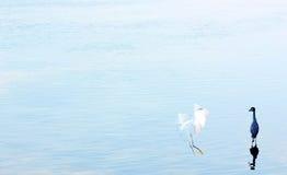 Two sea birds Royalty Free Stock Photo